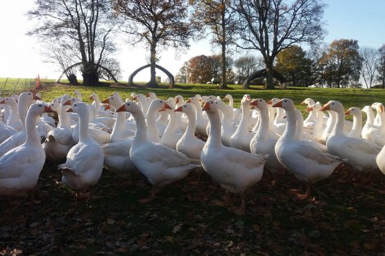 One Month Until Christmas and the Geese (and Turkeys!) are Getting Fat!